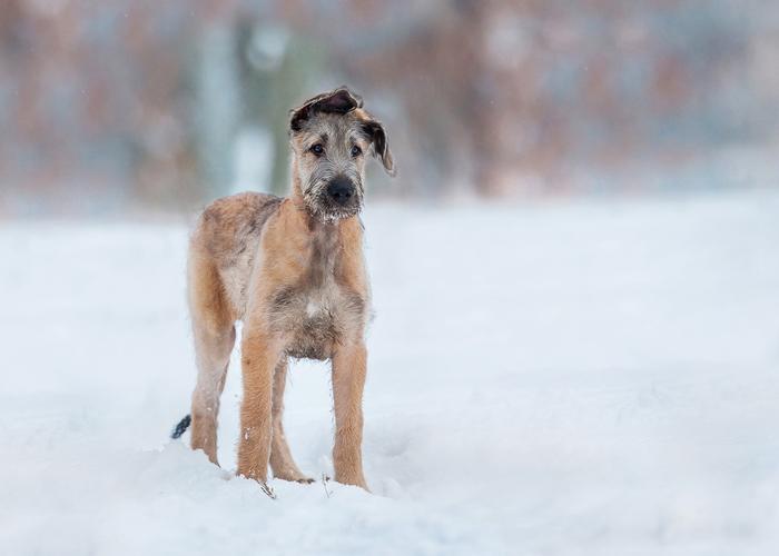 Ierse Wolfshond in de sneeuw