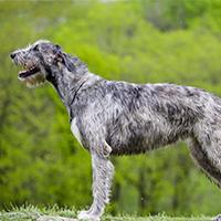 twee verschillende uiterlijken van de Ierse wolfshond
