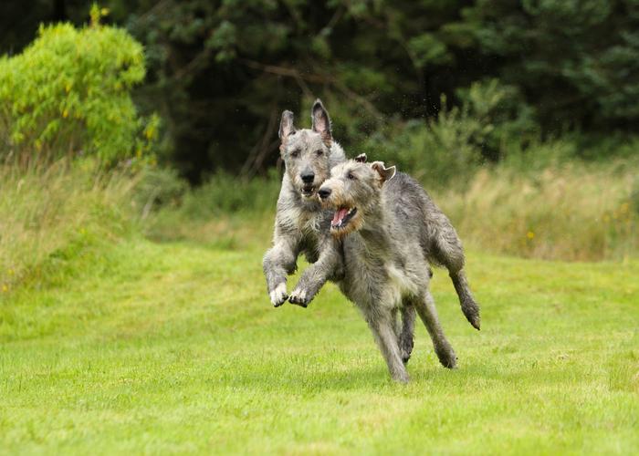 Rennende Ierse wolfshond