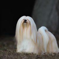 Wat kost een lhasas apso puppy?