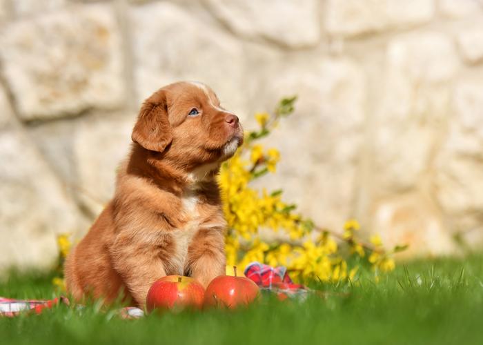 Wat kost een Nova Scotia duck tolling retriever puppy