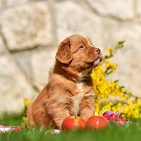 Wat kost een Nova Scotia duck tolling retriever puppy?