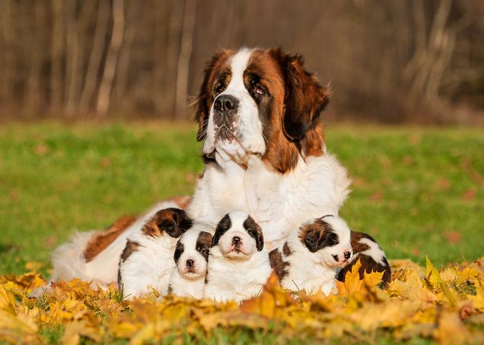 Wat kost een sint bernard puppy