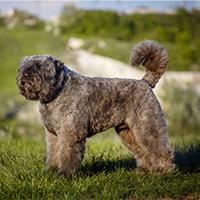 Wat kost een bouvier des flandres puppy?