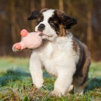 Het opvoeden van een sint bernard pup