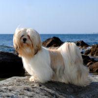 Het opvoeden van een lhasas apso pup