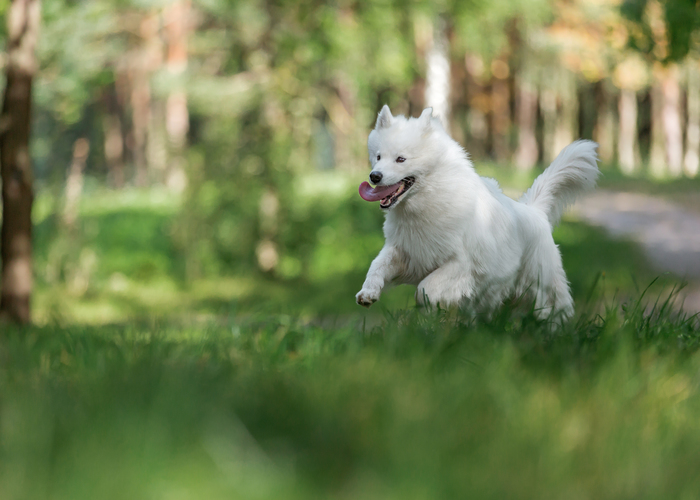samojeed hondenras
