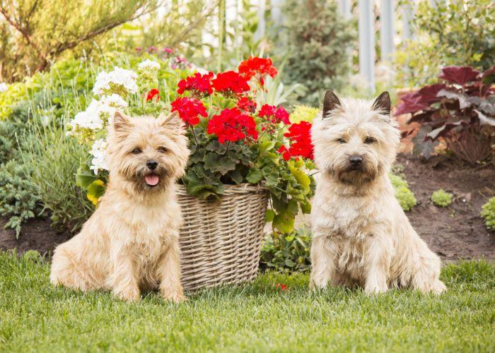 Twee verschillende uiterlijken van cairn terrier