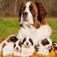 Wat kost een sint bernard puppy?