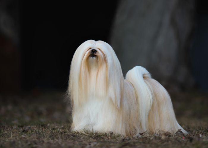 Wat kost een lhasa apso puppy