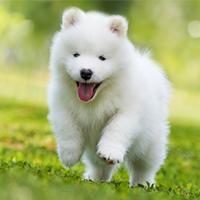 Het opvoeden van een samojeed pup